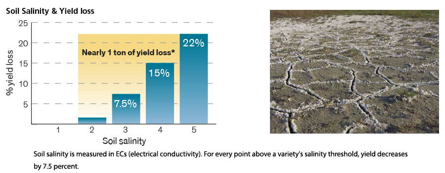Soil Salinity and yield loss in alfalfa, salt visible on soil.