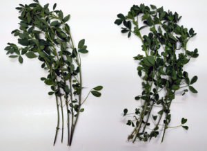 Hi-Gest leaf-to-stem comparison