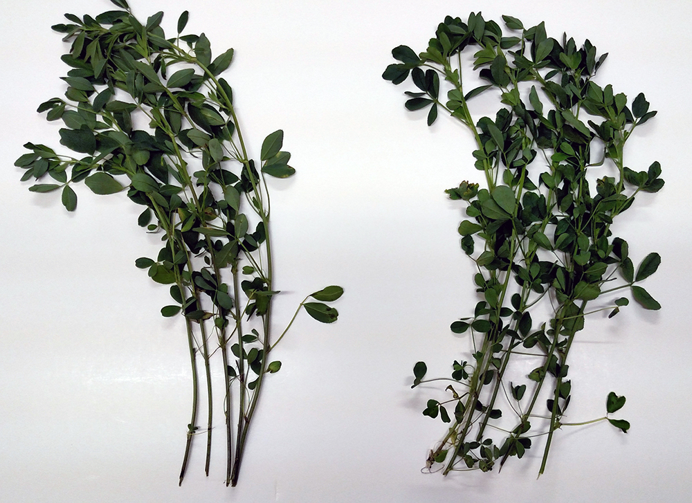Hi-Gest alfalfa leaf-to-stem comparison to a conventional alfalfa
