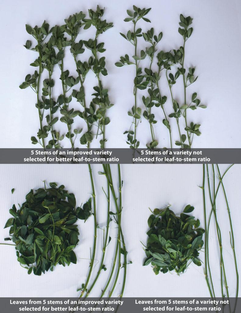 Alfalfa Leaf to Stem Comparison