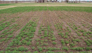 Damage caused by ice sheeting in an alfalfa filed