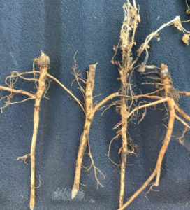 Alfalfa roots with dead crowns equal winterkill