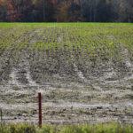 Fall Planted Alfalfa