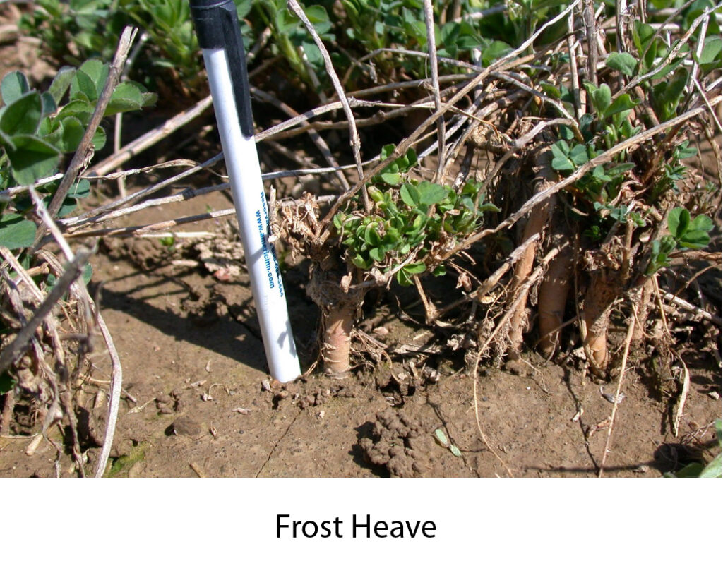 Frost heave on the crown of an alfalfa plant causing winter injury