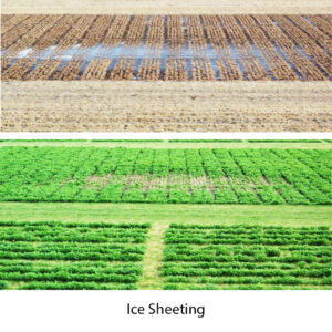 the effects of ice sheeting on an alfalfa stand