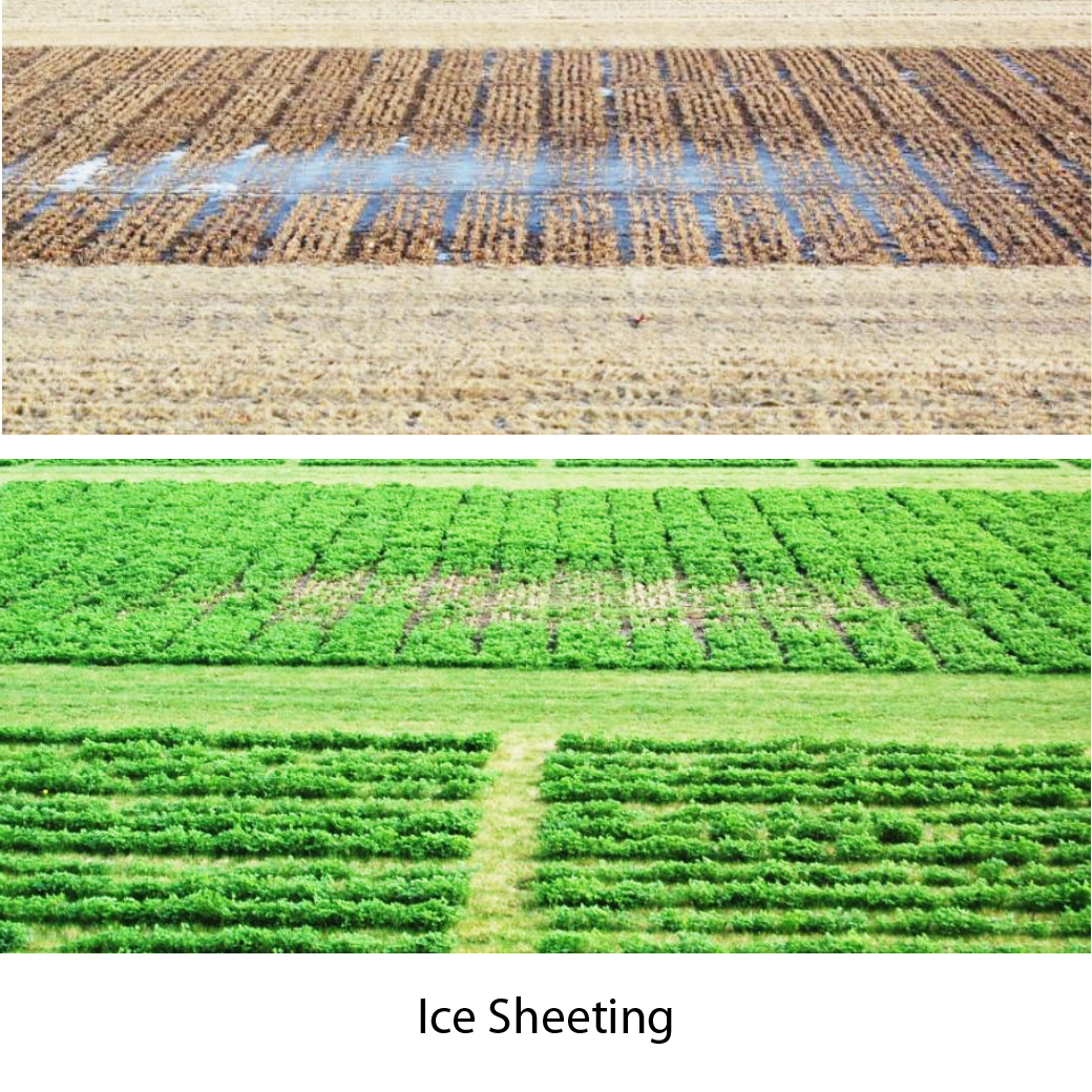 The effects of ice sheeting on an alfalfa stand causing winterkill