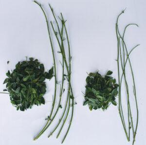 Hi-Gest Alfalfa has more leaves