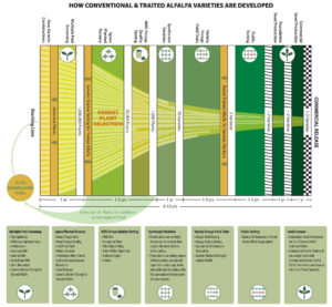 Alfalfa variety development infographic
